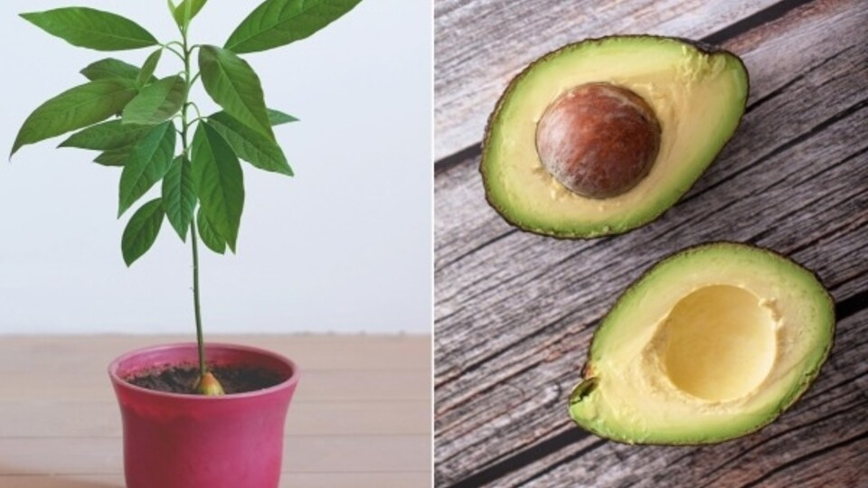 How To Grow An Avocado Tree At Home Myrecipes