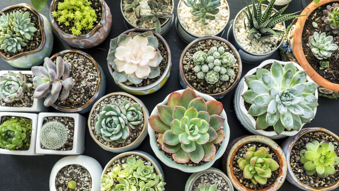 How To Water Succulents Better Homes Gardens
