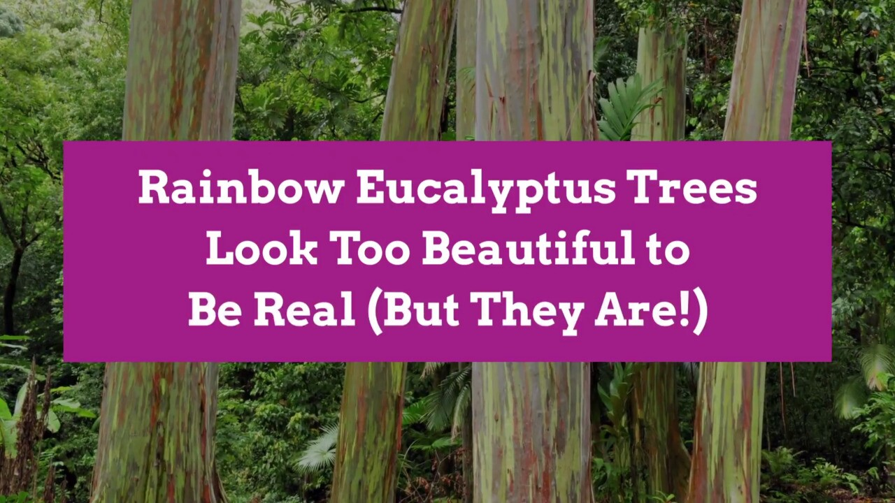 Rainbow Eucalyptus Trees Look Too Beautiful To Be Real But They