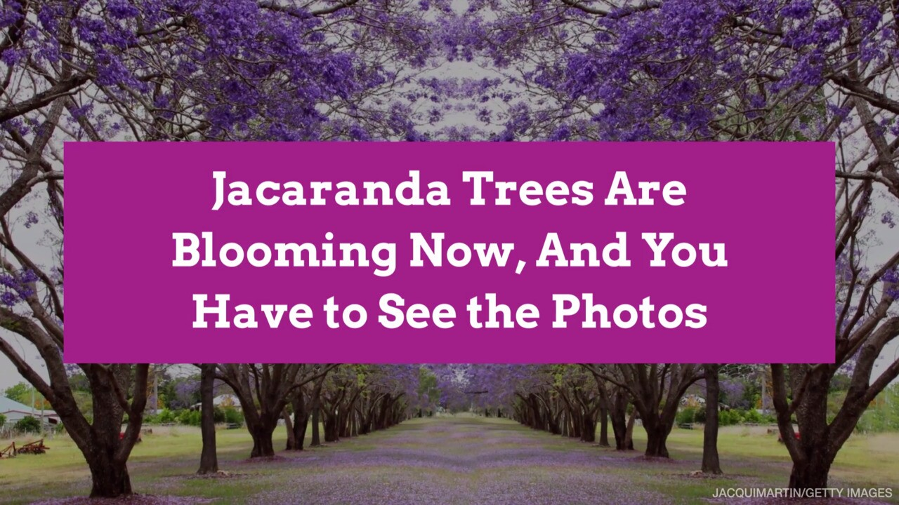 Jacaranda Trees Are In Bloom Now In The Southern Hemisphere