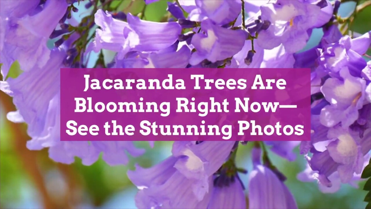 Jacaranda Trees Are Blooming Right Now See The Stunning Photos Better Homes Gardens
