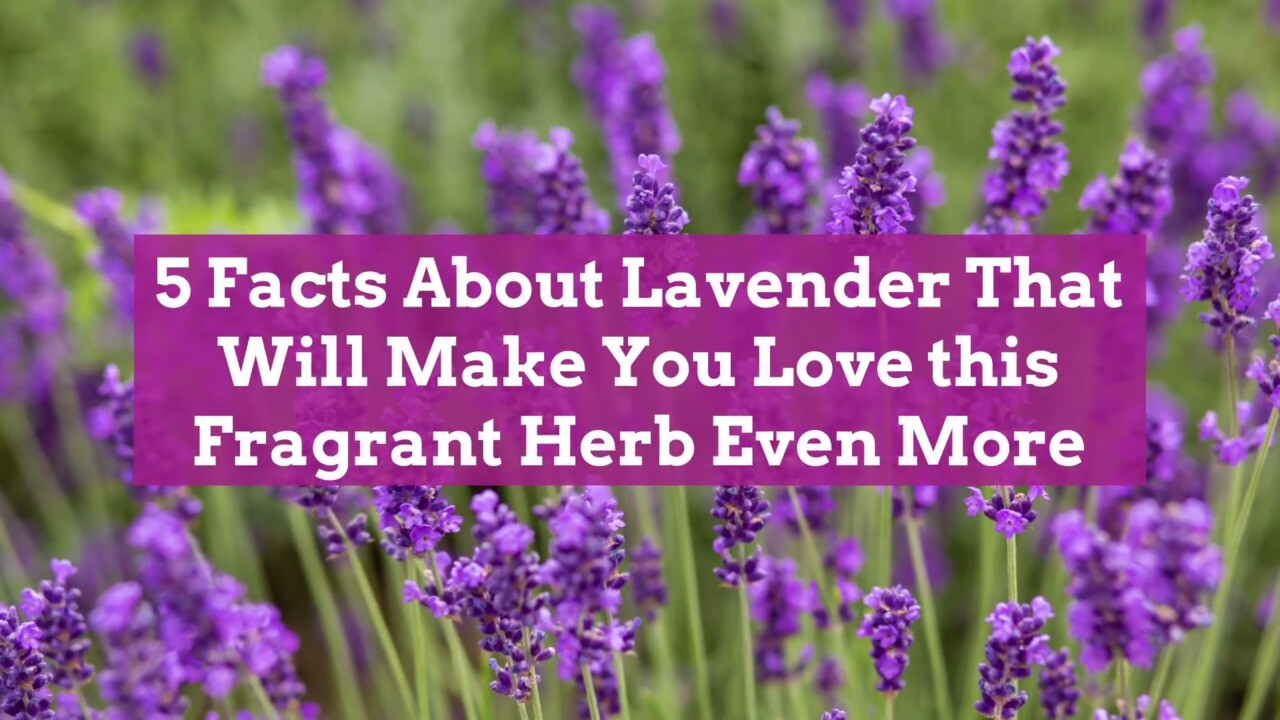 Facts About Lavender That Will Make You Love This Fragrant Herb Even More Better Homes Gardens