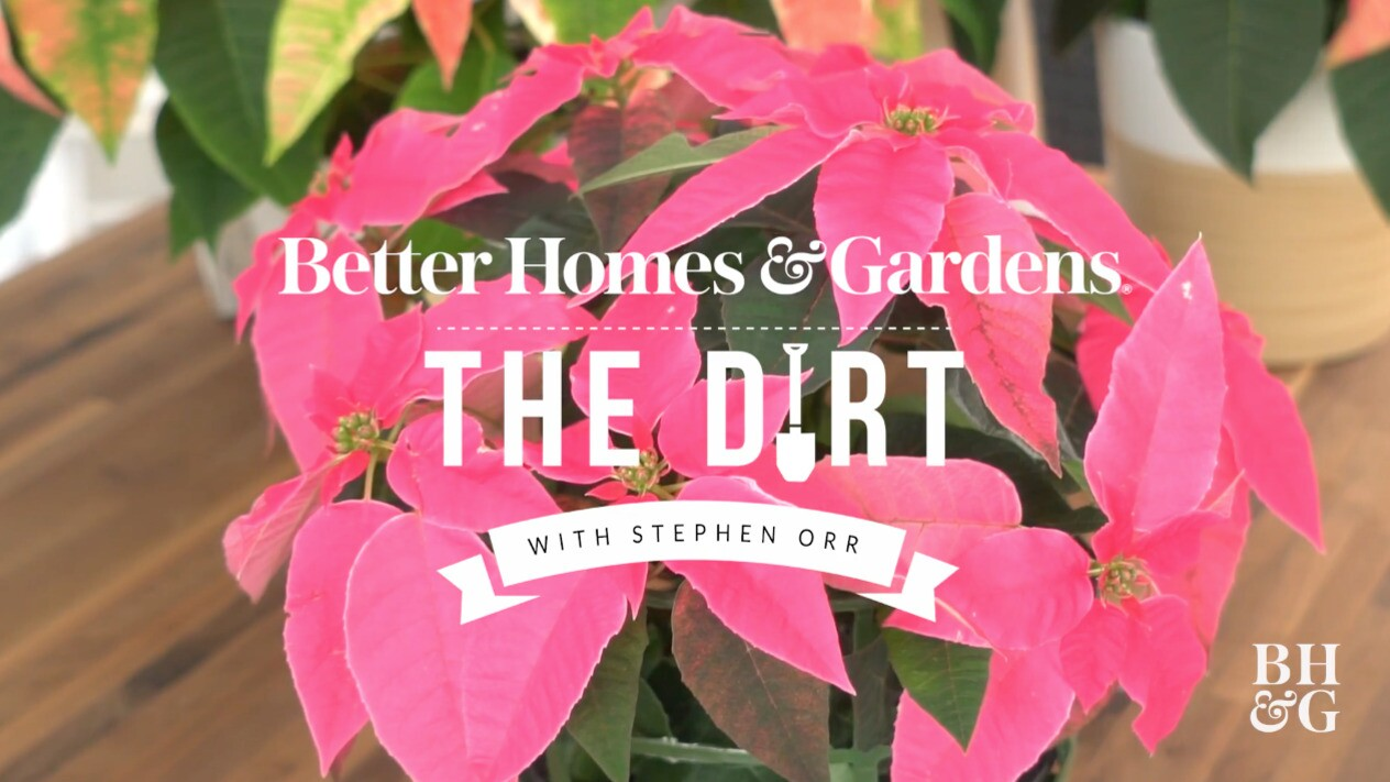 How To Care For Poinsettias Better Homes Gardens