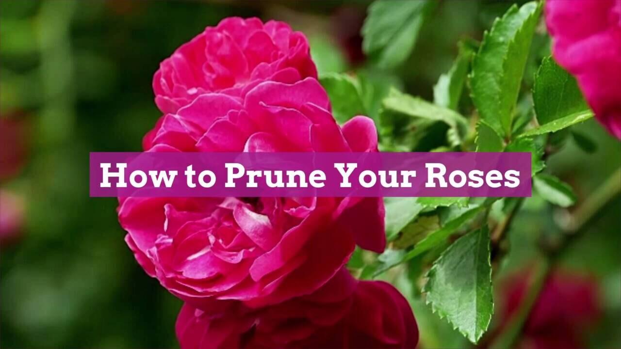 Tips For Pruning Roses Better Homes Gardens