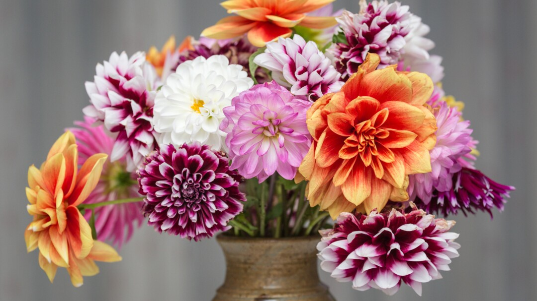 How To Plant And Care For Dahlias Martha Stewart