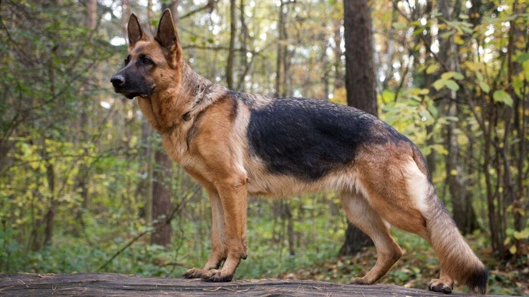German Shepherd Dog Breed Information & Characteristics   Daily Paws