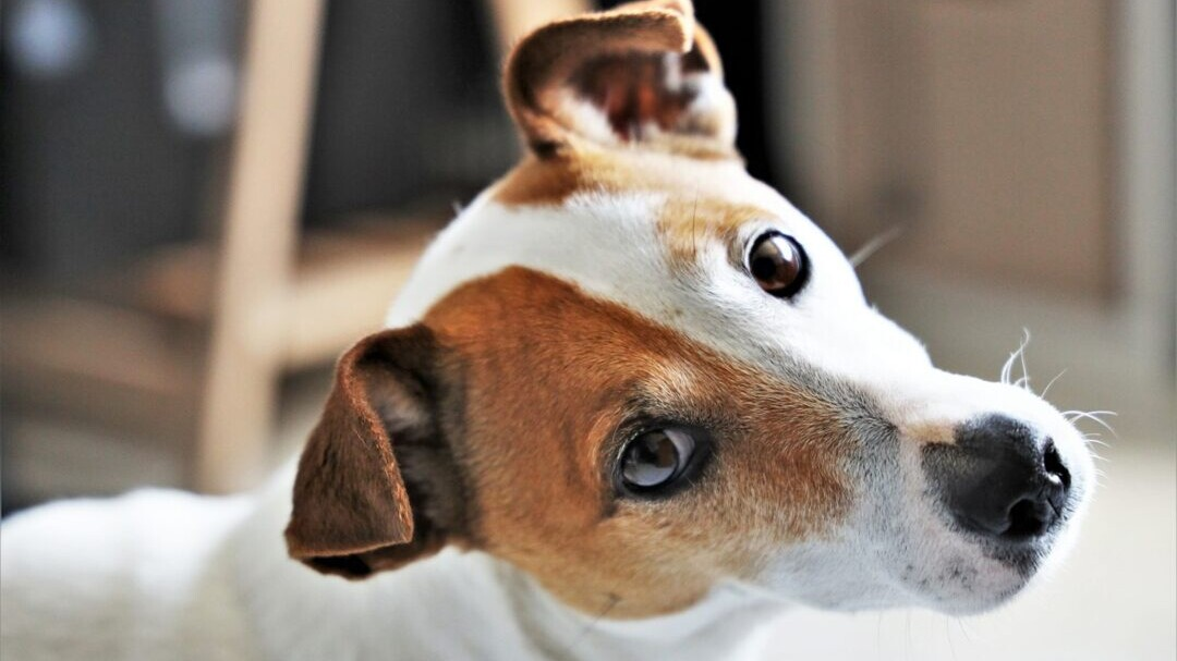 15 Of The Longest Living Dog Breeds Daily Paws