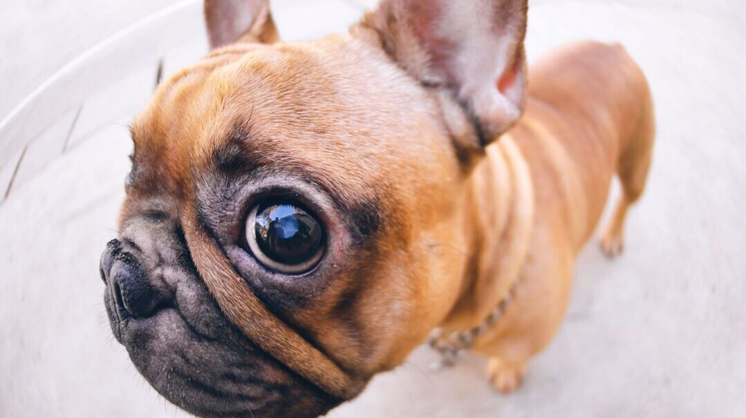 Dog Eye Infections