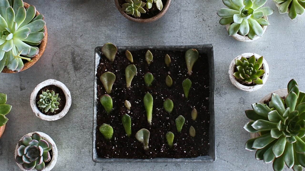 How To Propagate Succulents Martha Stewart