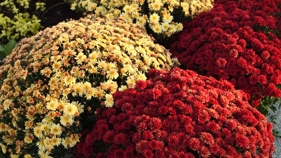 How To Grow Care For Fall Mums Guide To Types Of Mums Better
