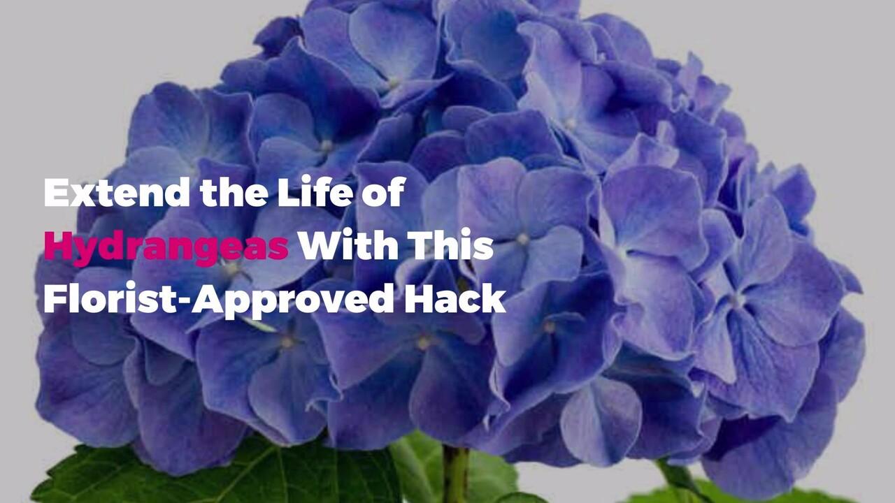 Hydrangea Care 101 How To Make Hydrangeas Last Real Simple