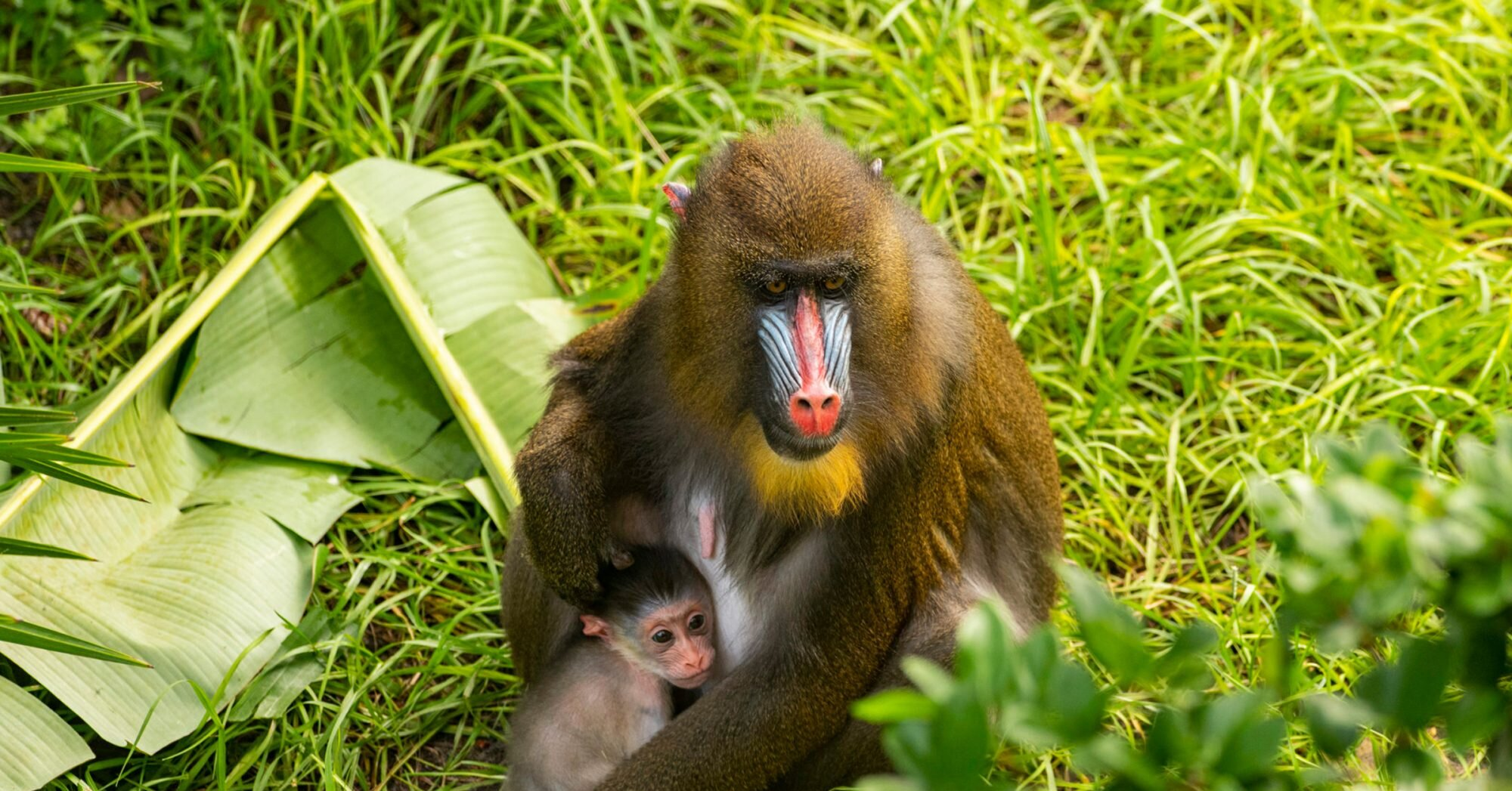 Adorable Baby Mandrill, the World's Most Colorful Monkey, Born at Disney's Animal Kingdom