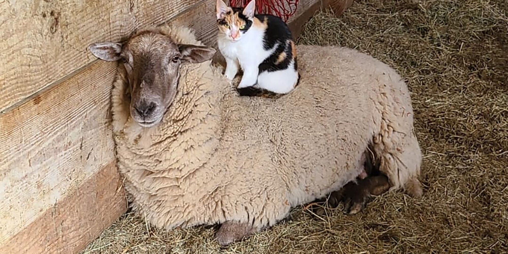 Luci the Cat and Waffles the Sheep Are Fluffy BFFs Despite Their Differences