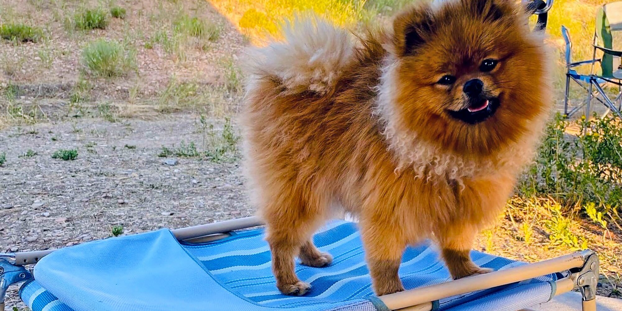 Meet Milo, the Most Athletic Pomeranian We Know