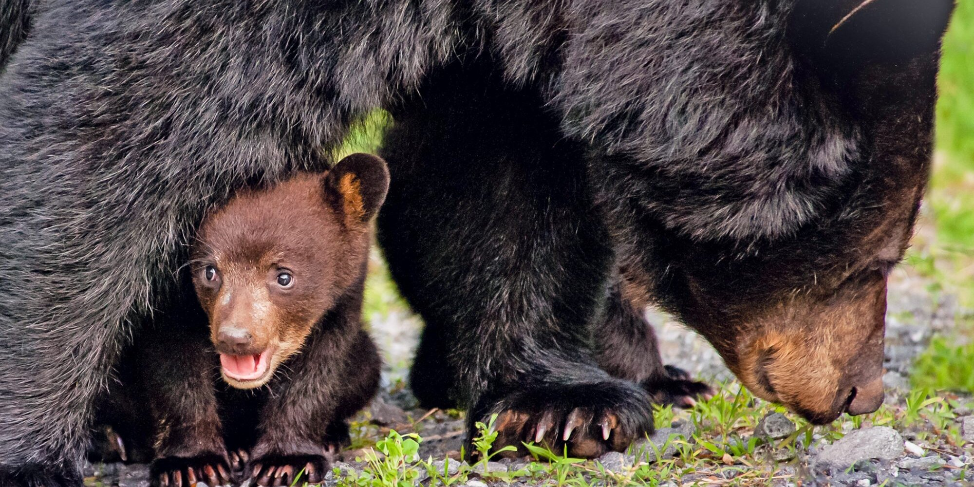 Mama Bear Crossing the Road with Her Cubs is Every Parent with Multiple Kids