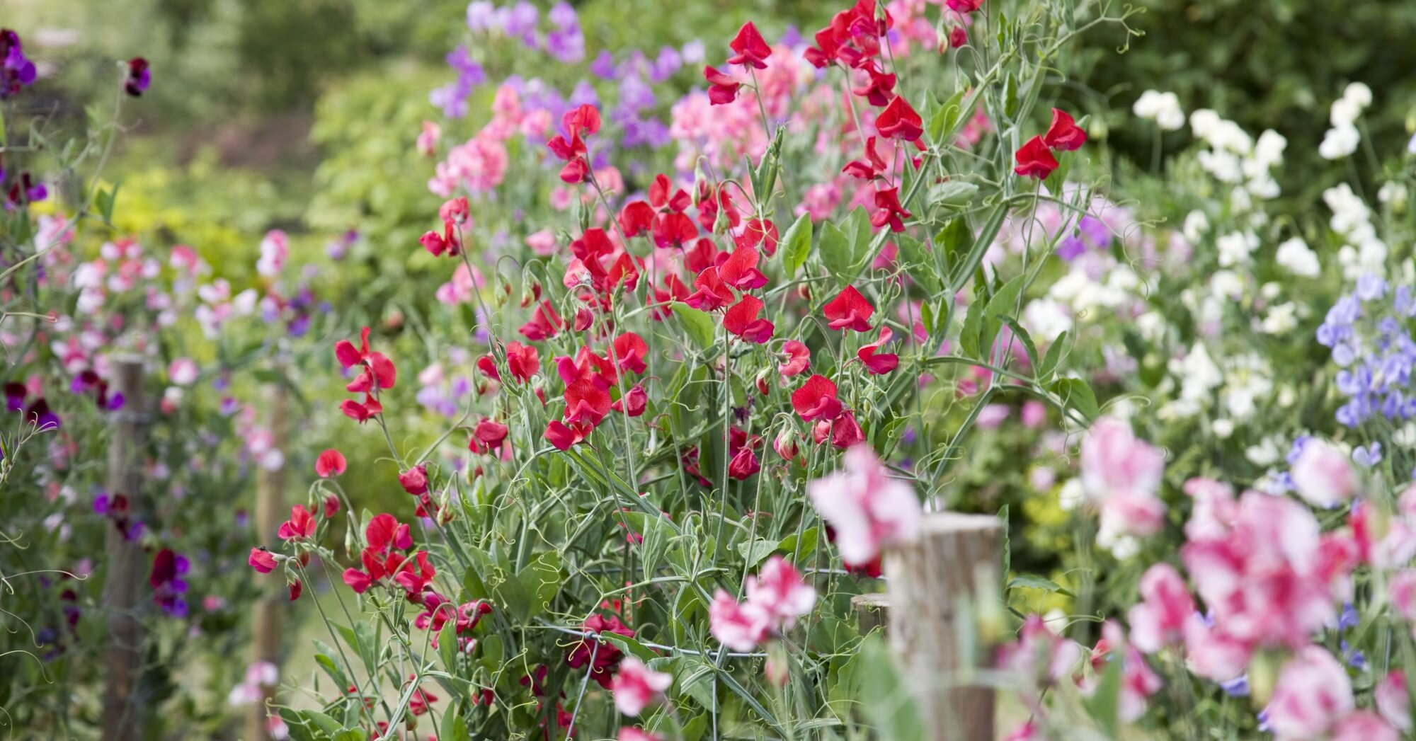 Why You Should Plant Sweet Pea Flowers In Your Garden This Year