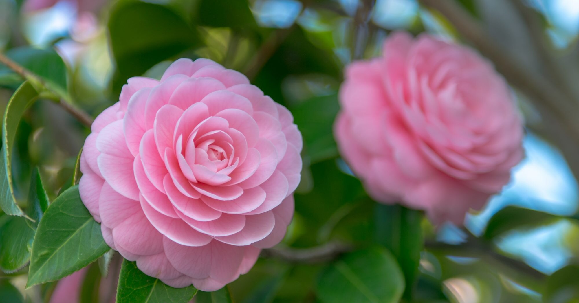 The Biggest Mistakes To Avoid When Growing Camellia Flowers