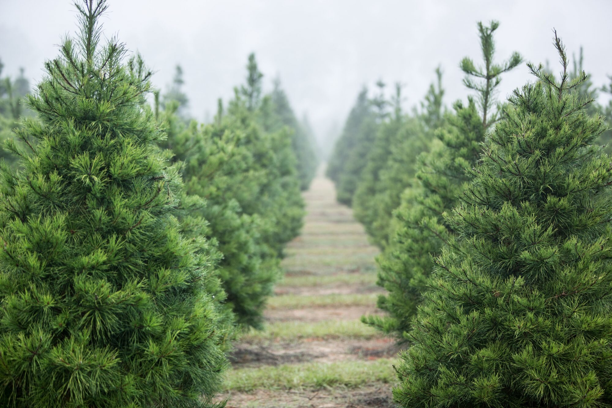 24 Best Christmas Tree Farms In The South Southern Living