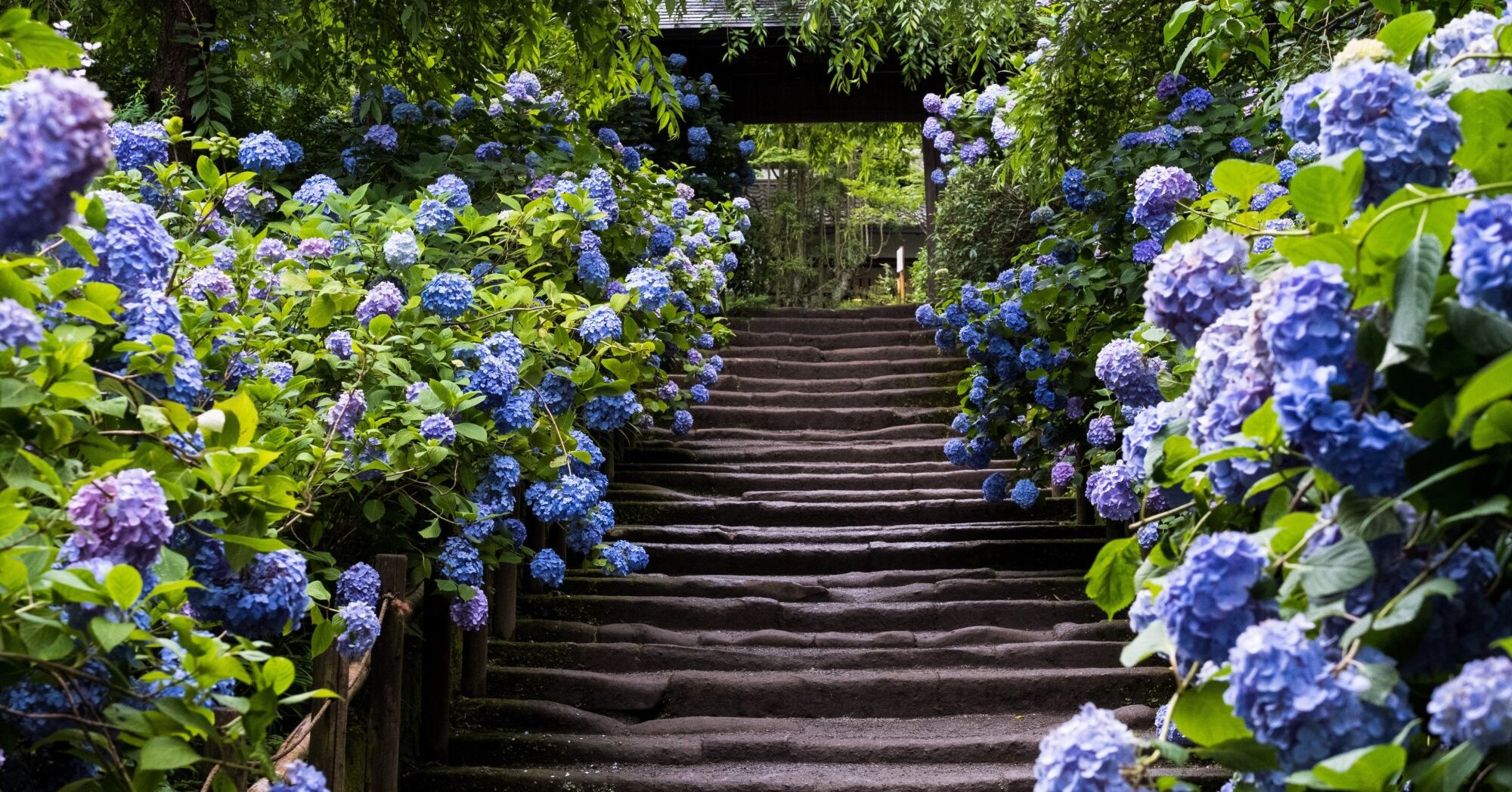 What Should You Do About Hydrangea Bushes That Are Getting Too Big?