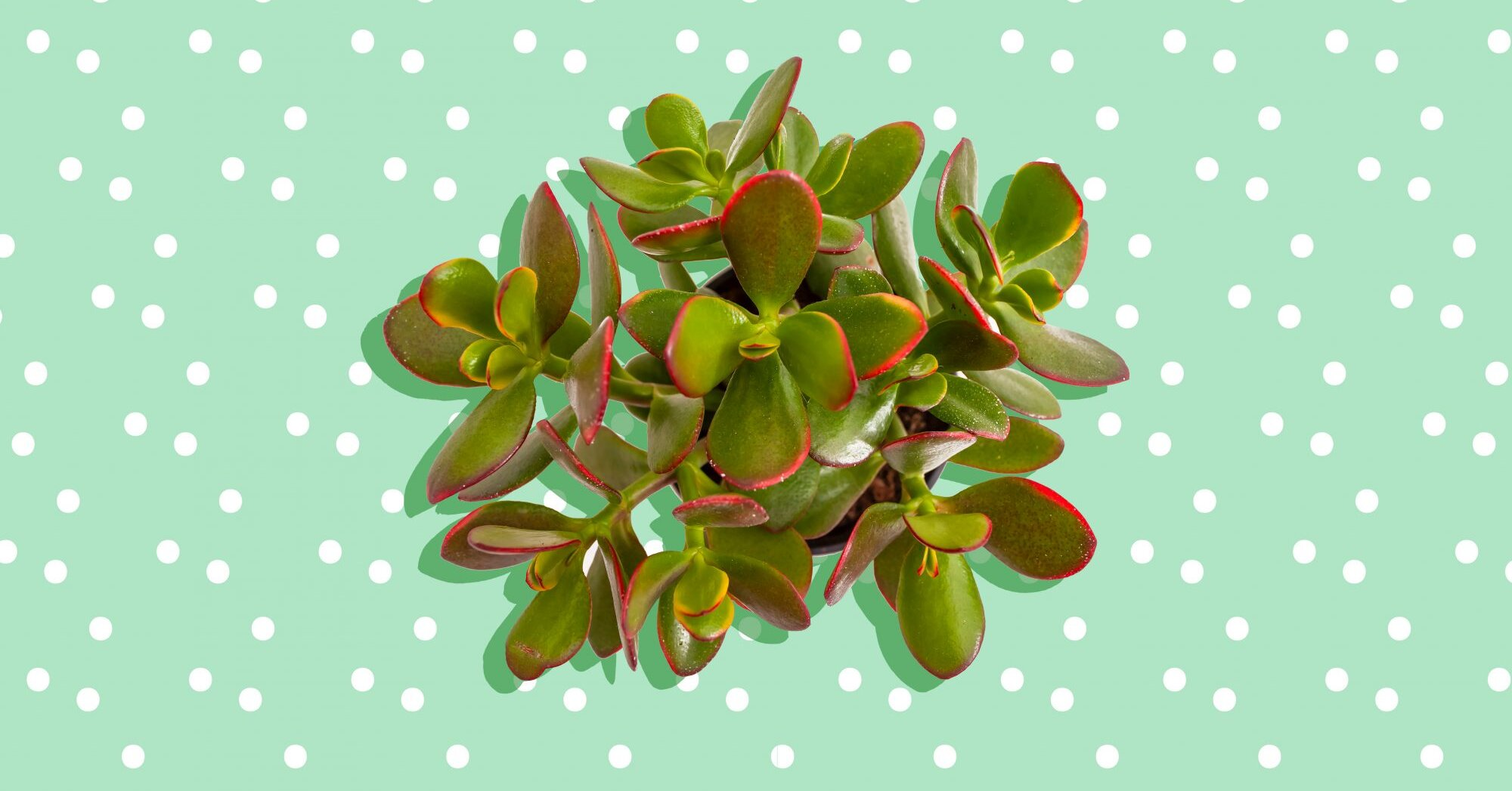 Jade Plant Care Tips Even If You Re