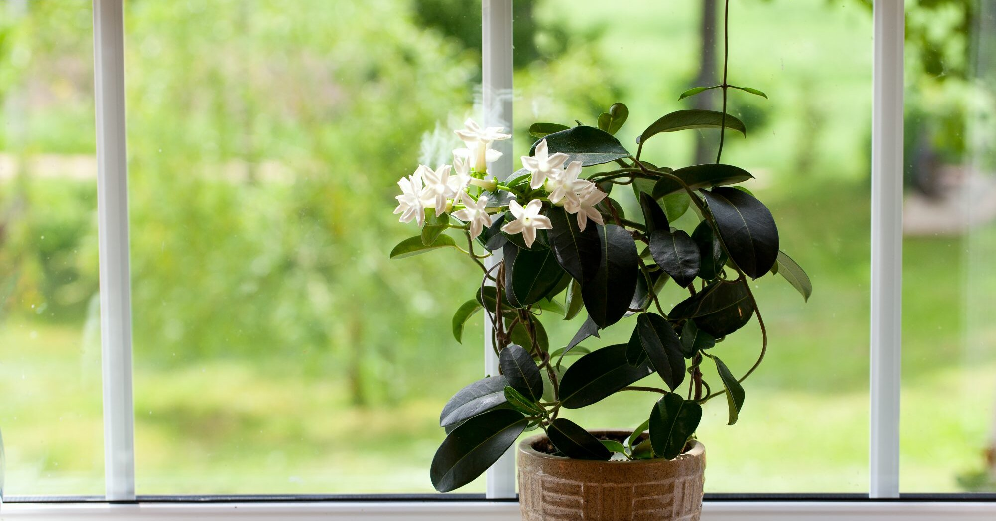 Everything You Need to Know About Growing Jasmine Indoors