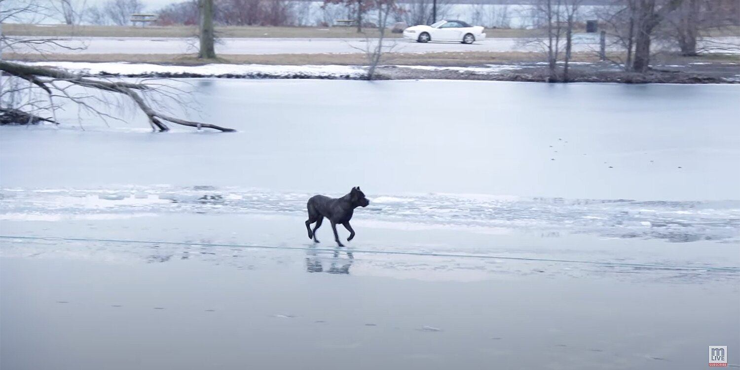 Dog Stranded Alone on the Thin Ice of a Michigan River Saved by Animal-Loving Rescuers