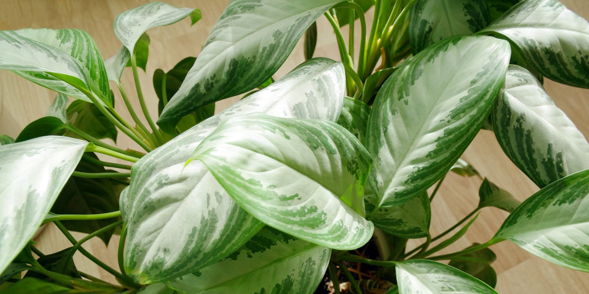 Why Everyone Loves Dieffenbachia Plants—and You Will Too