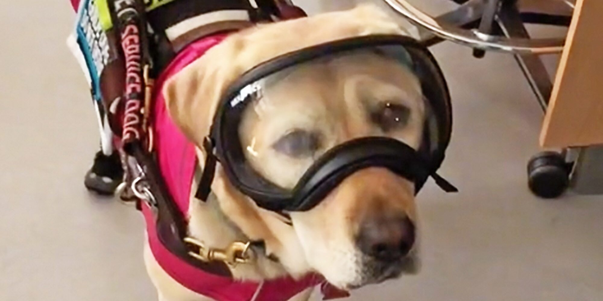 Meet O'Hara the Guide Dog, a Viral TikTok Star and 'the Goodest Girl in STEM'