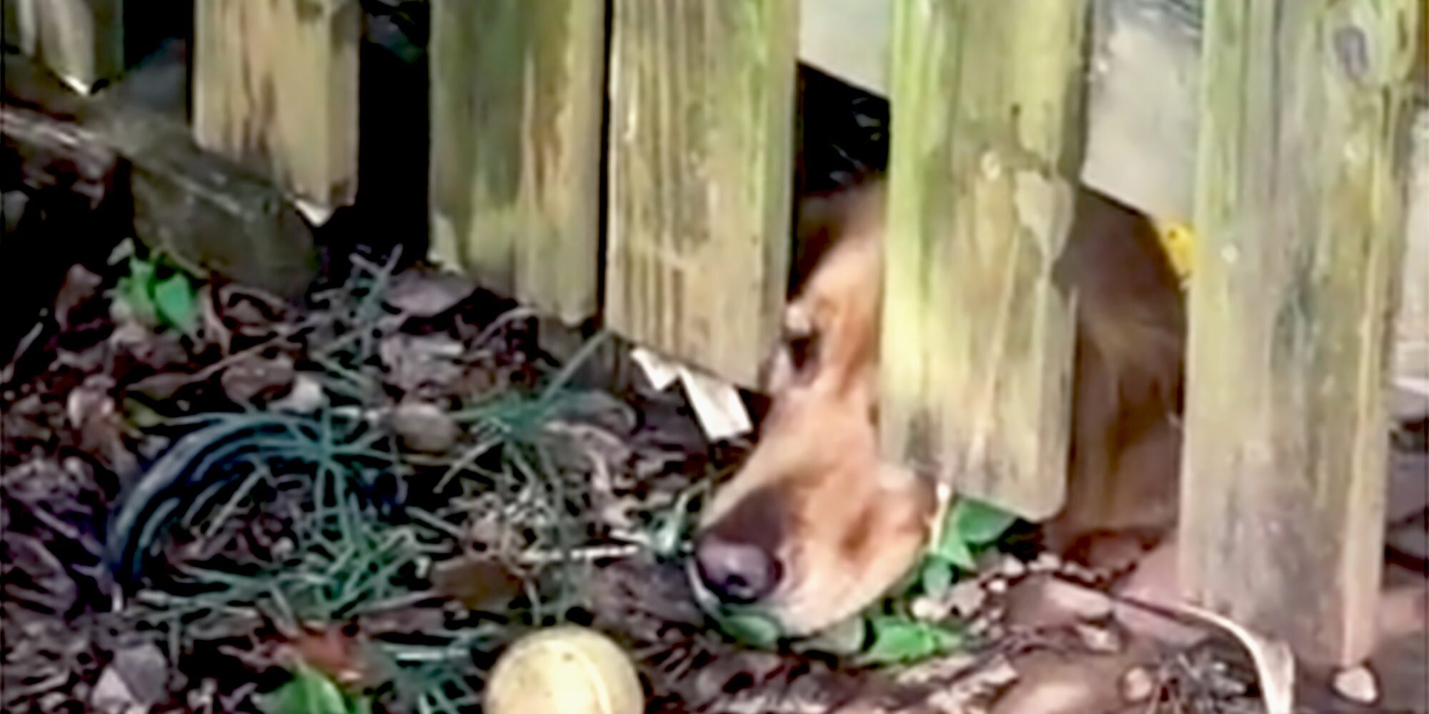 This Golden Is So Focused on Her Ball She Doesn't Realize She Can Reach It
