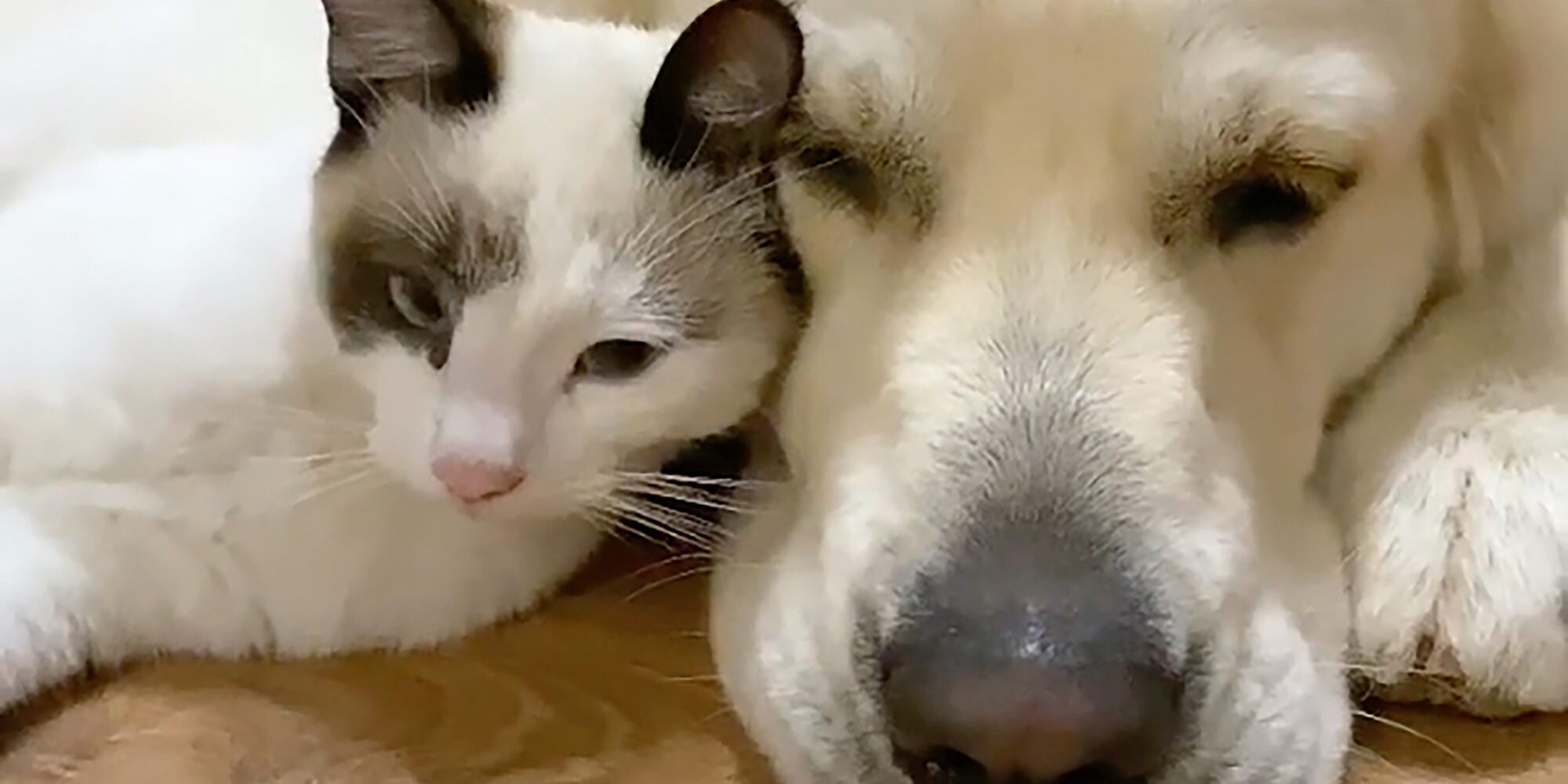Golden Retriever Meets New Kitten for the First Time in Adorable Video