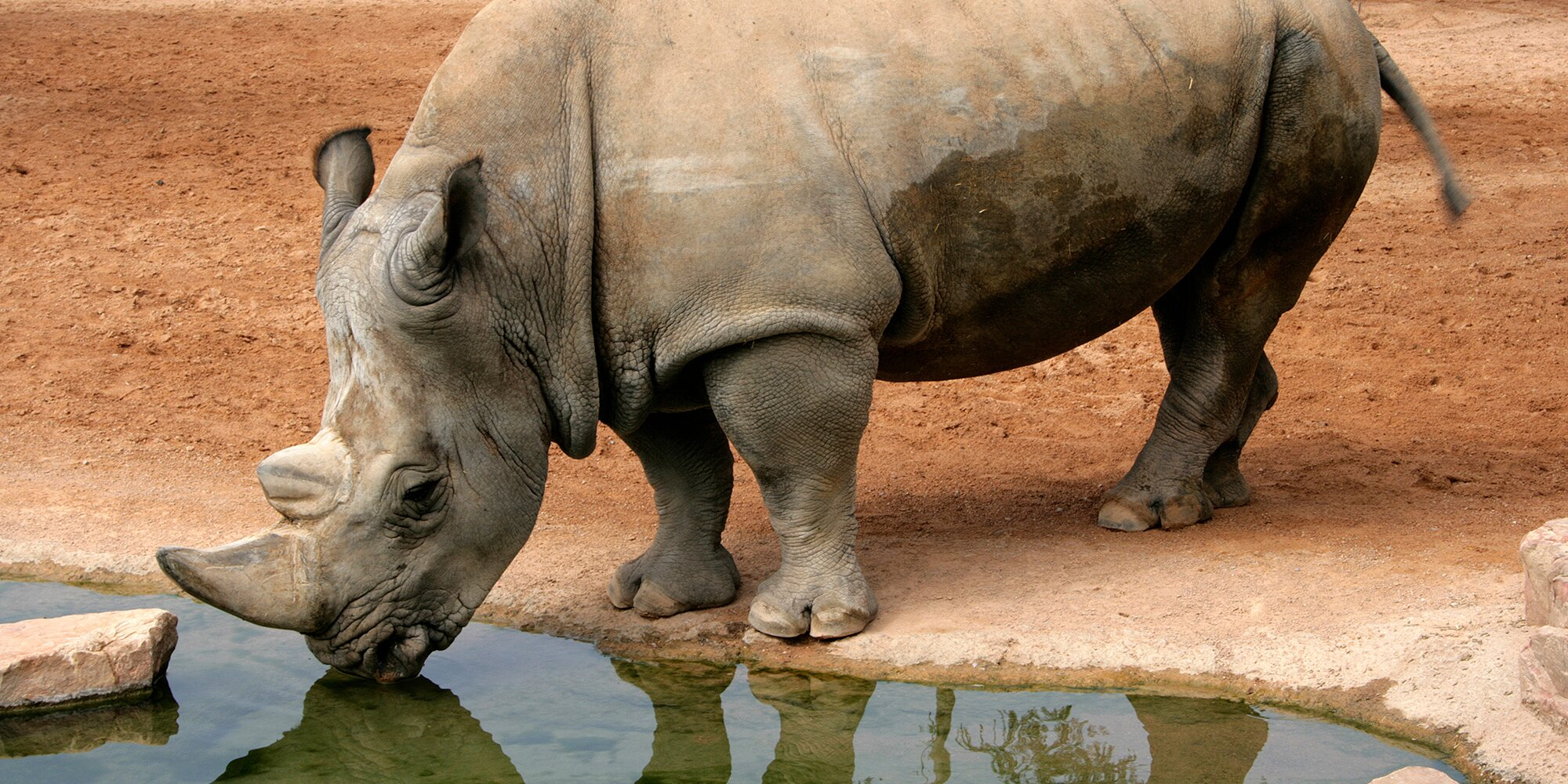 Zoo Miami's Toshi, North America's Oldest Eastern Black Rhino, Euthanized at Age 44