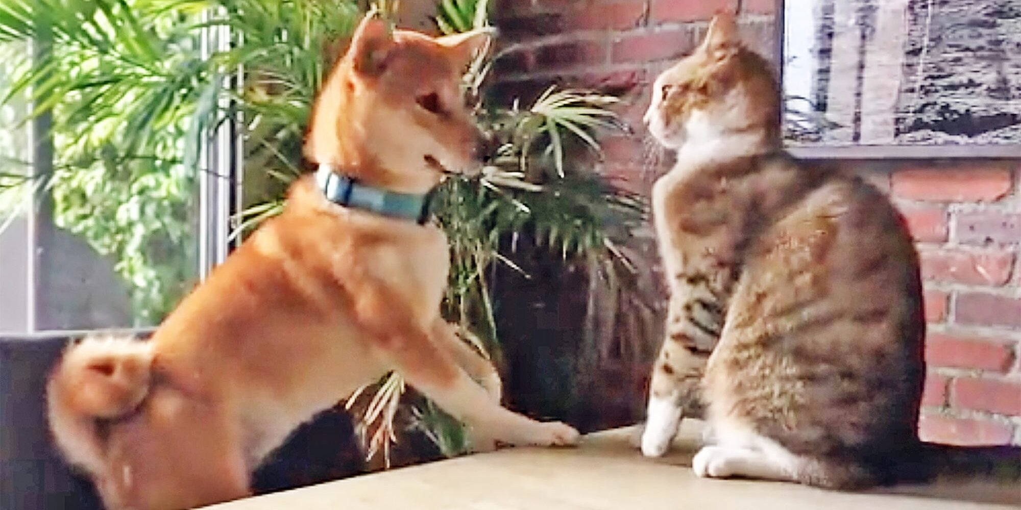 Cat Knocks Dog Off a Chair (Or Does She?)