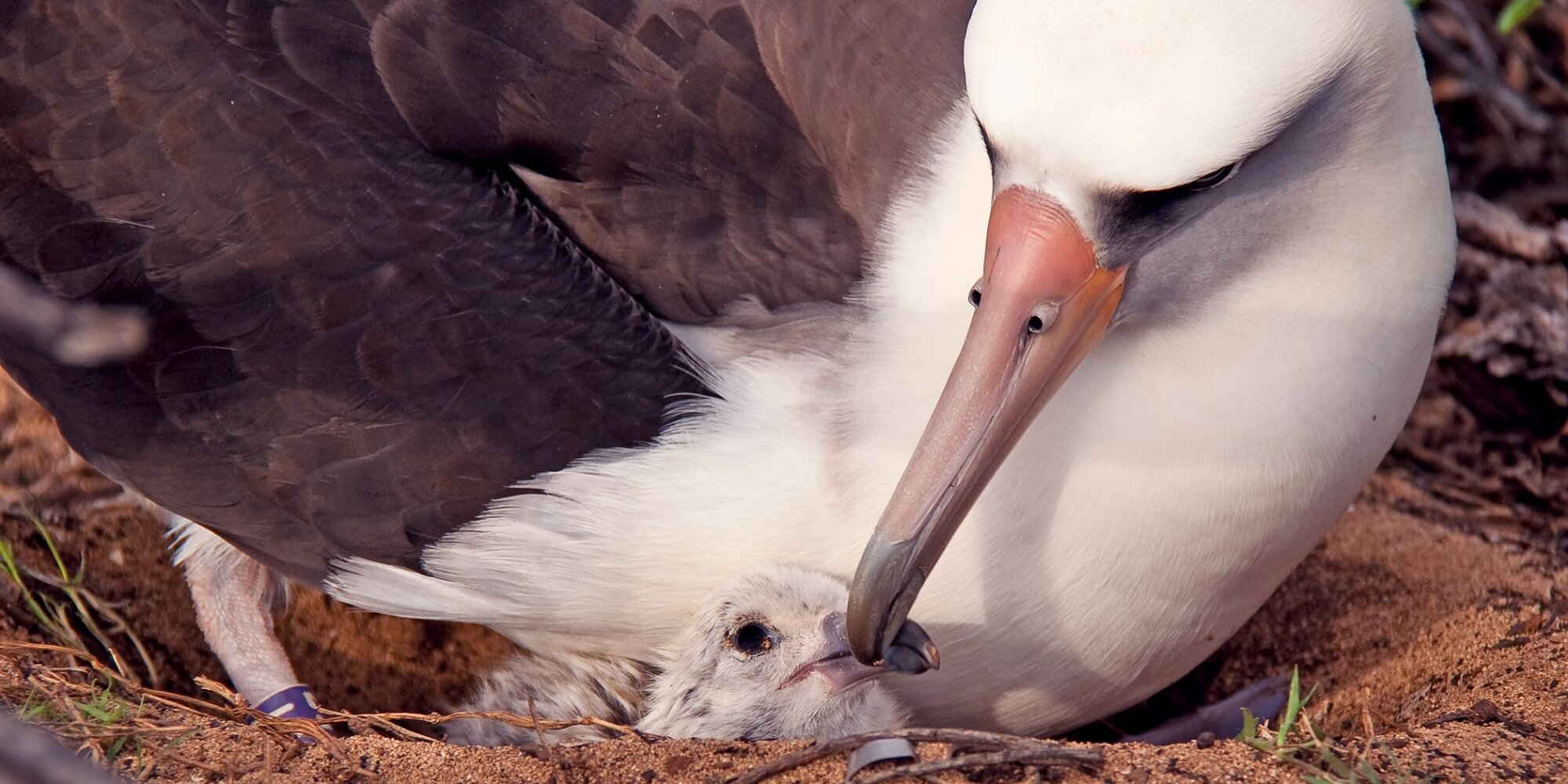 World's Oldest Known Wild Bird Hatches Another Chick… At Age 70!