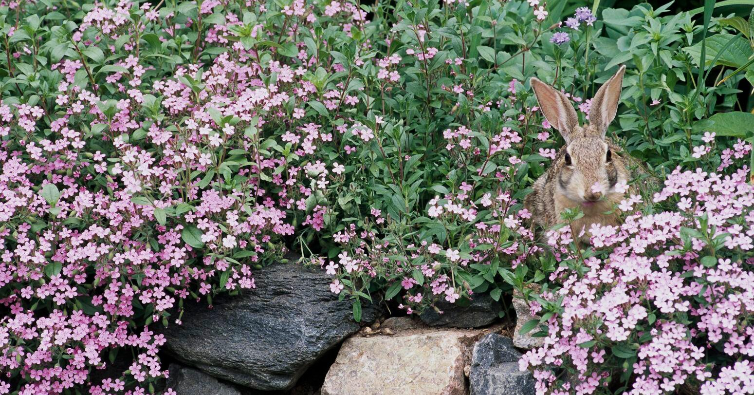 What To Plant To Keep Rabbits Away Better Homes Gardens