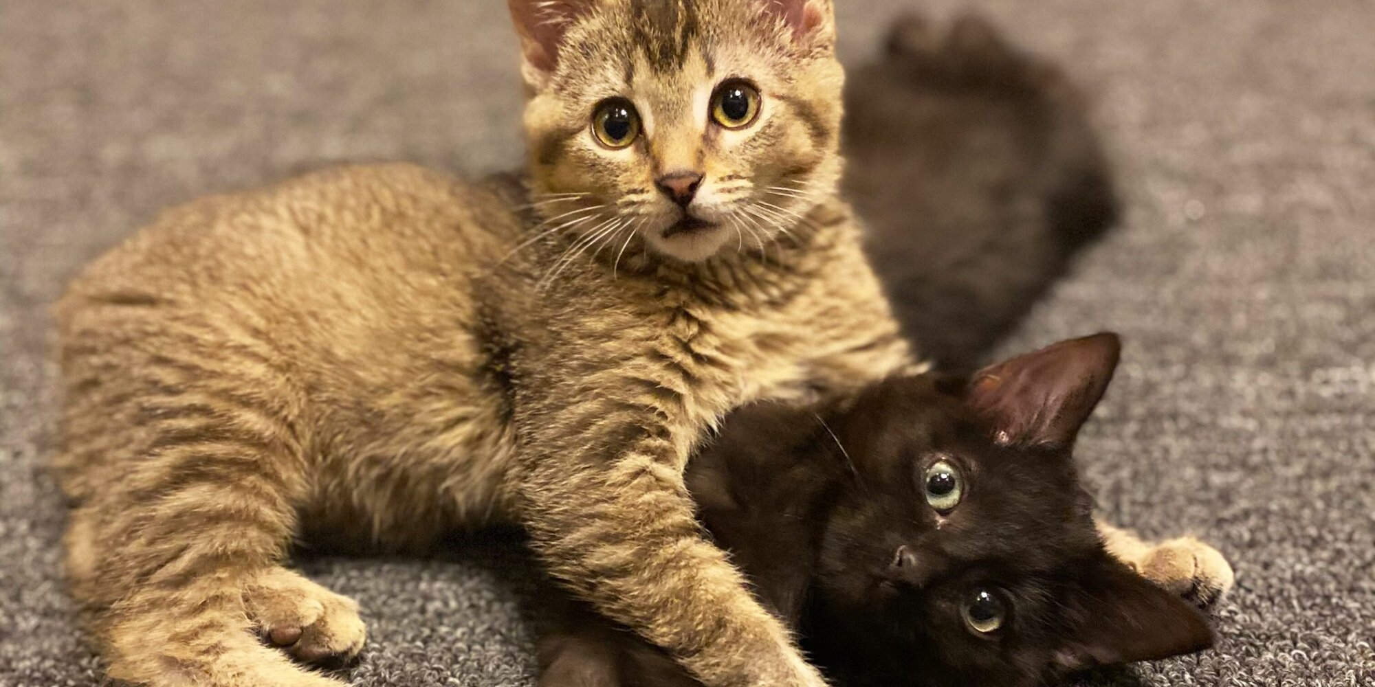 Sibling Barn Kittens with Manx Syndrome Fostered To Good Health