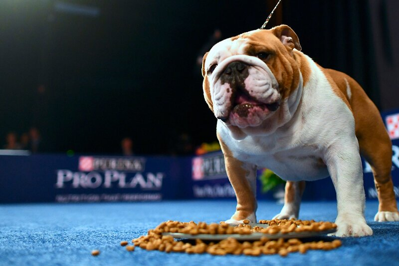 bulldog, Thor, received Best in Show at the National Dog Show 2019