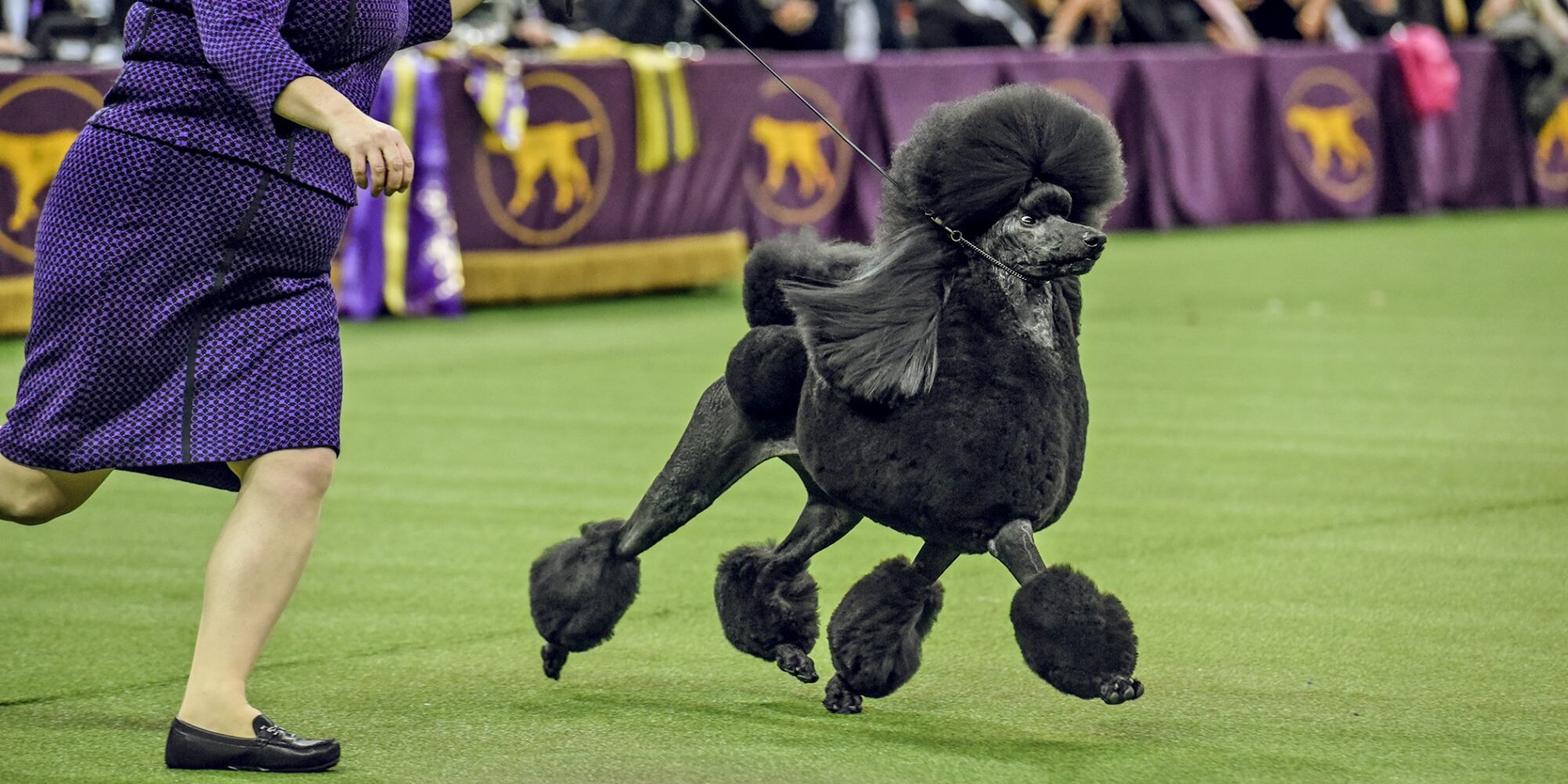 How to Watch the Westminster Dog Show