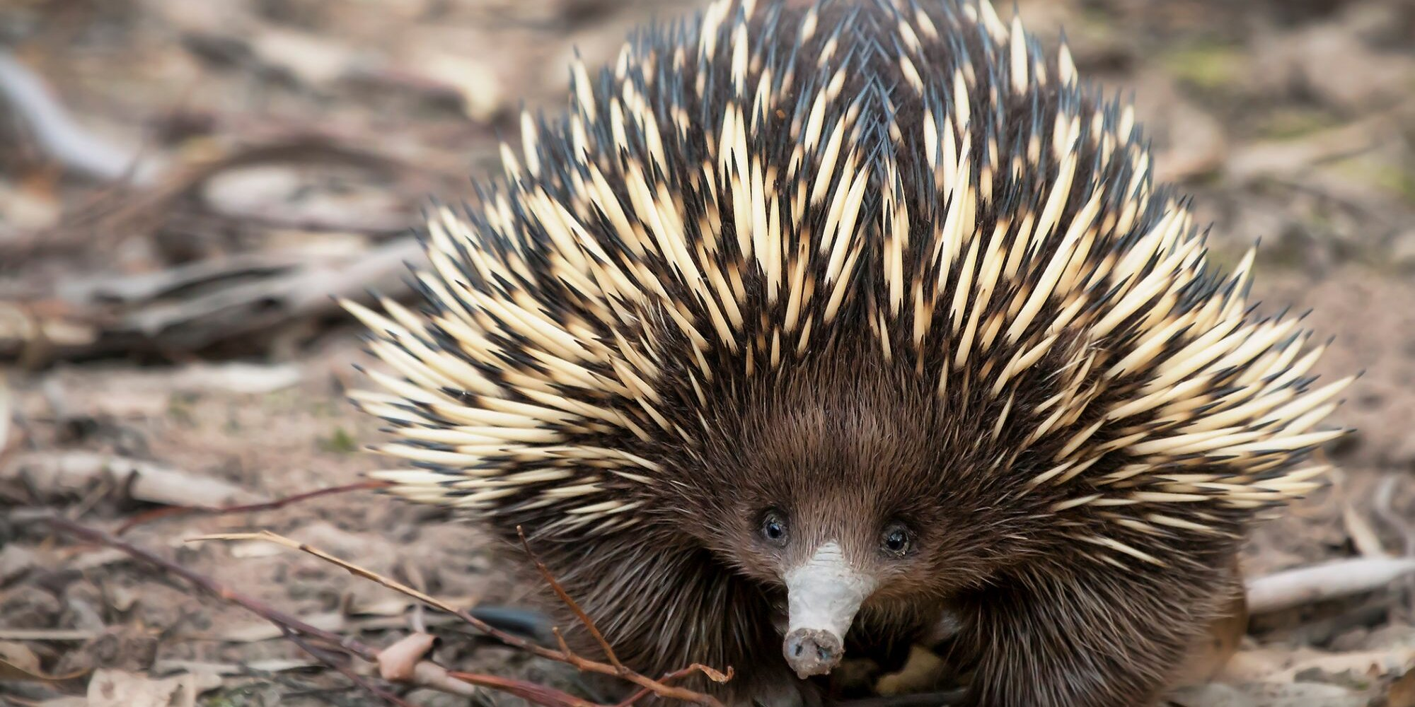 Adorable Baby Echidna Makes First Public Appearance at Sydney Zoo