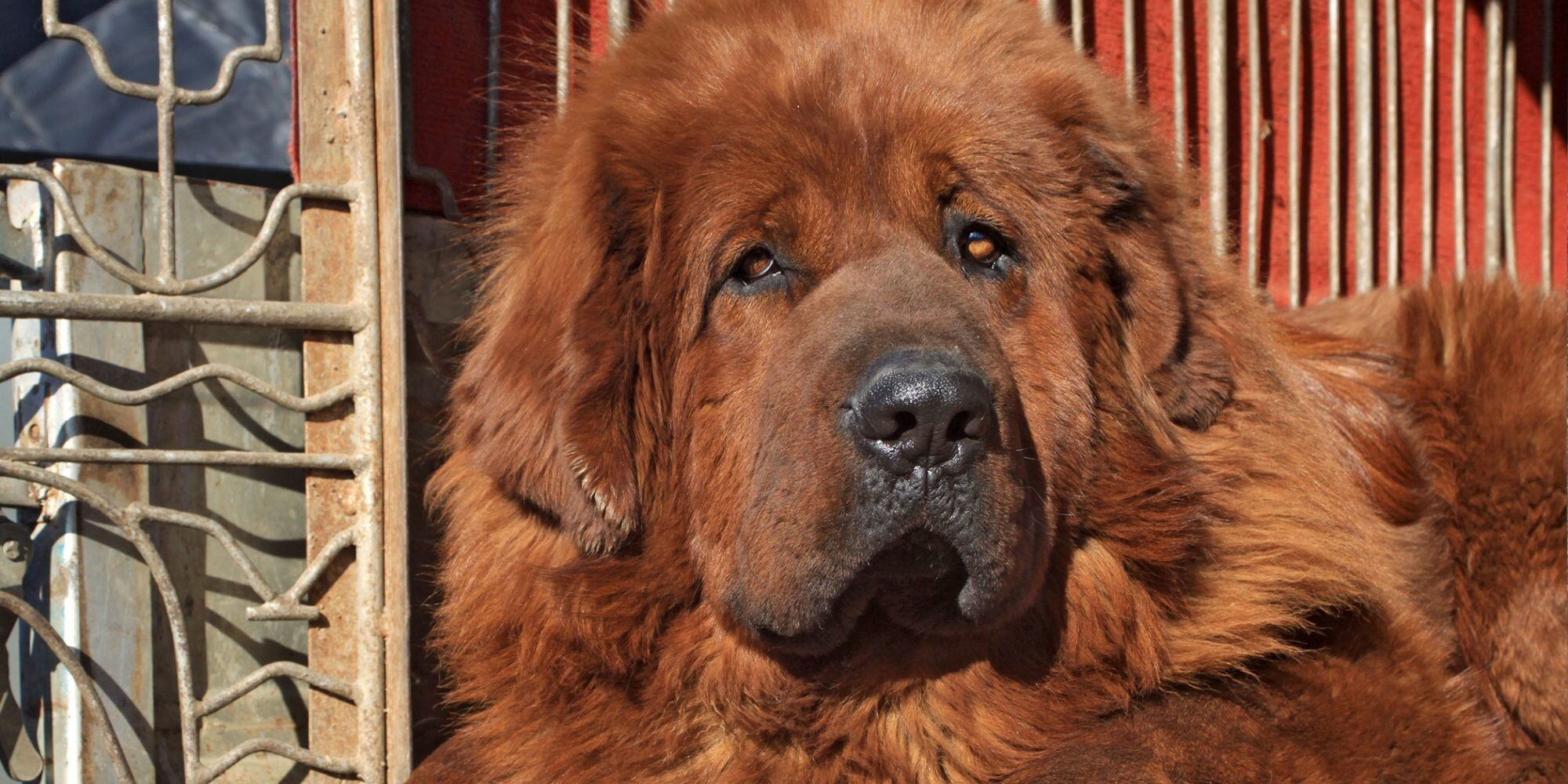 Enormous Dog Is Way Bigger Than You Can Imagine