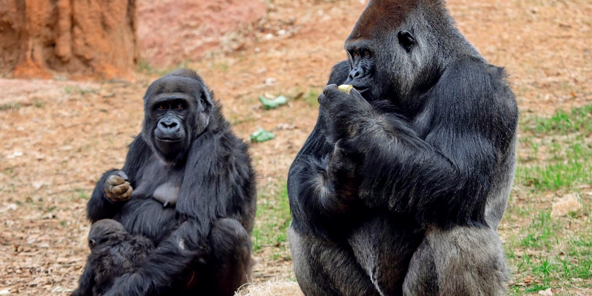 We Can't Wait to Watch This 2-Year-Old Gorilla Celebrate His Birthday
