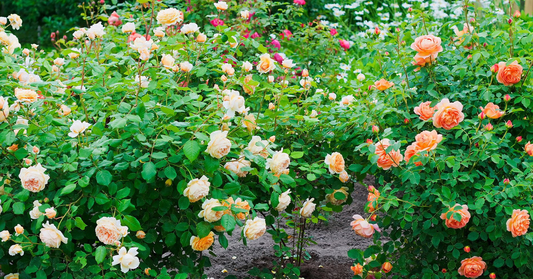 Four Tips for Getting Your Roses to Bloom More Profusely
