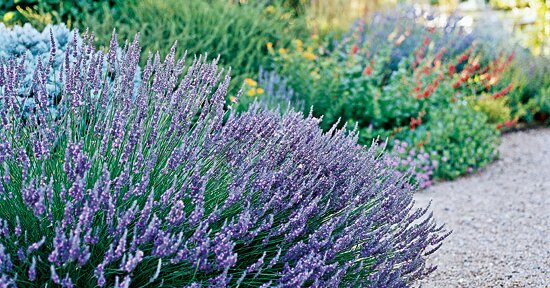 Lavender Better Homes Gardens