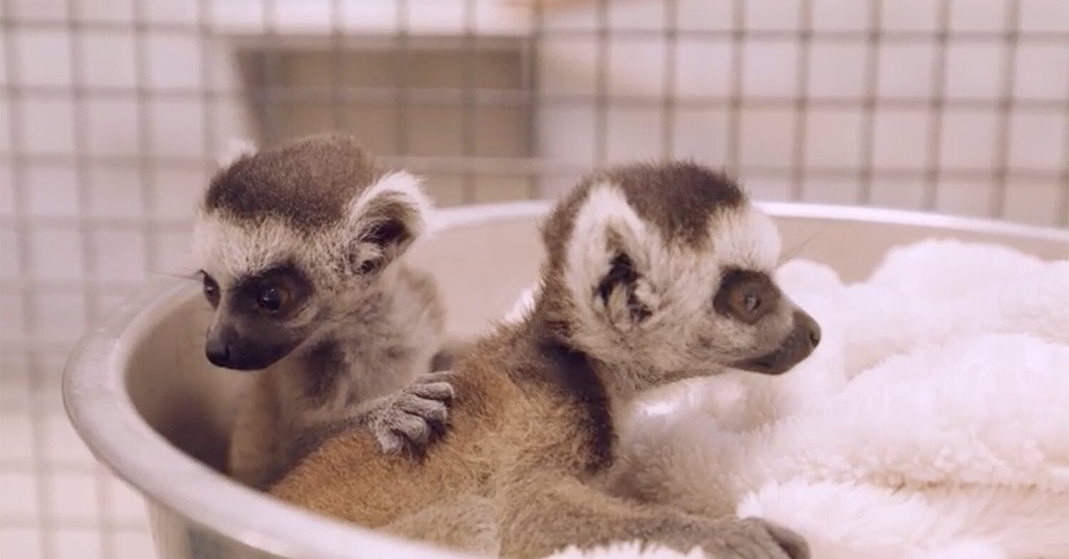 Twice as Nice: San Diego Zoo Welcomes Endangered Ring-Tailed Lemur Twins