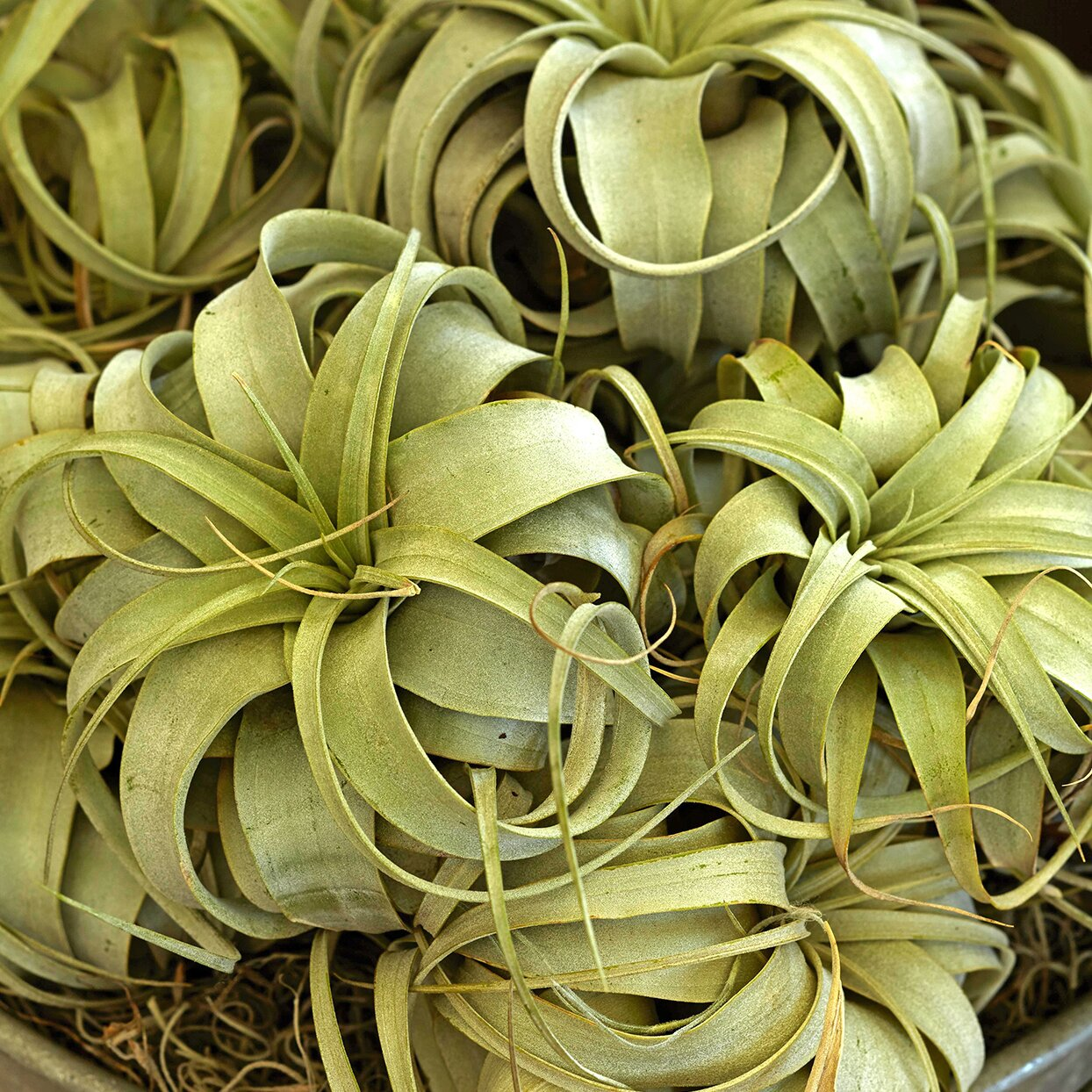 How To Grow And Care For Air Plants Better Homes Gardens