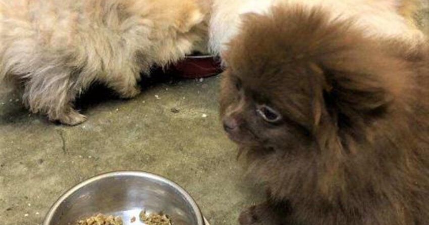 Customs Authorities Intercept 8 Pomeranian Puppies Smuggled Into United States from Russia