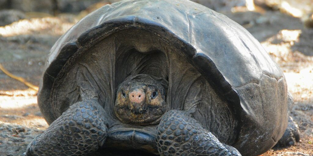 A 100-Year-Old Tortoise Believed to Be a Member of an Extinct Species Was Just Discovered in the Galápagos