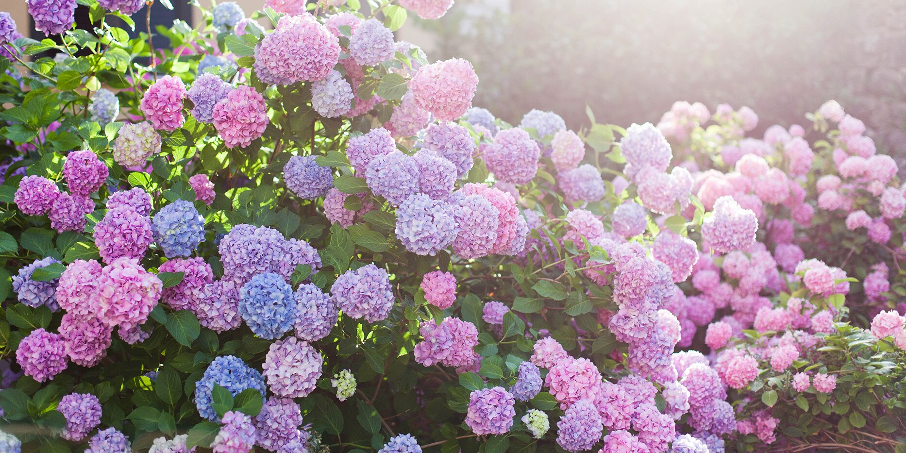 How to Choose the Right Type of Hydrangea for Your Garden