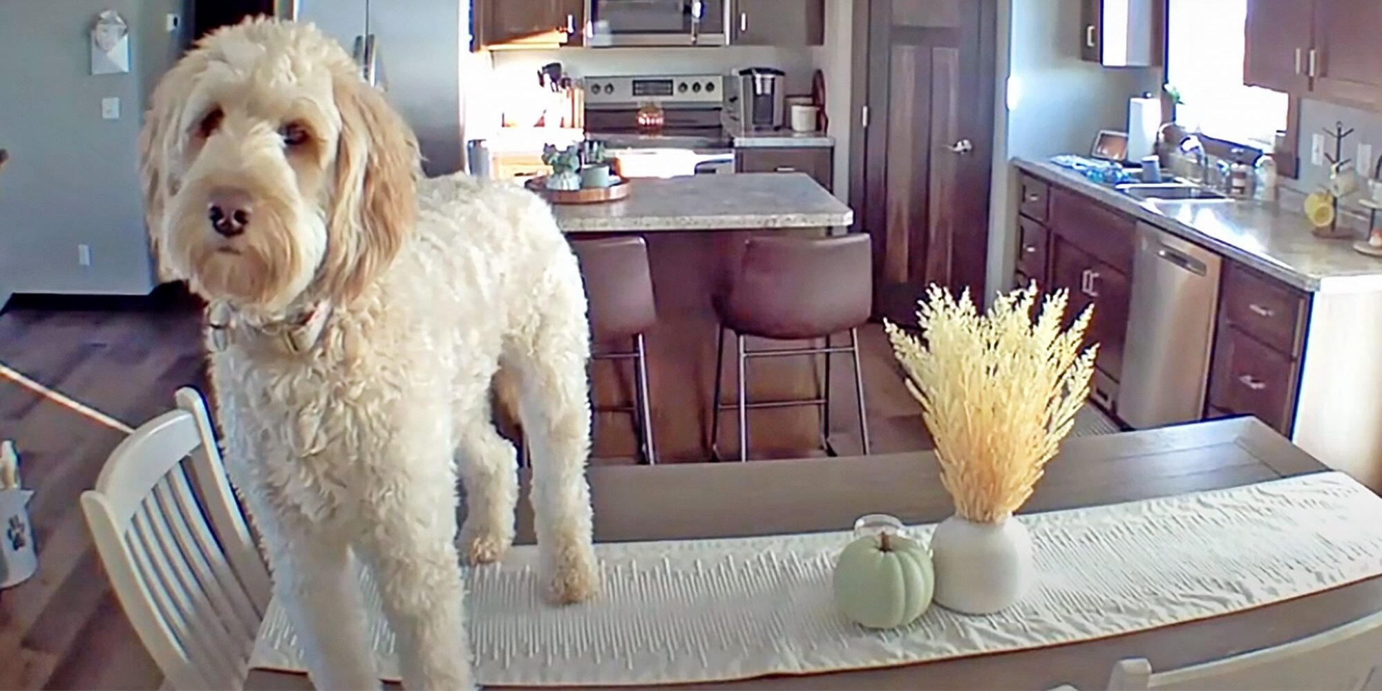 Watch This Goldendoodle Hysterically Ignore Her Mom's Pleas to Get Off the Kitchen Table