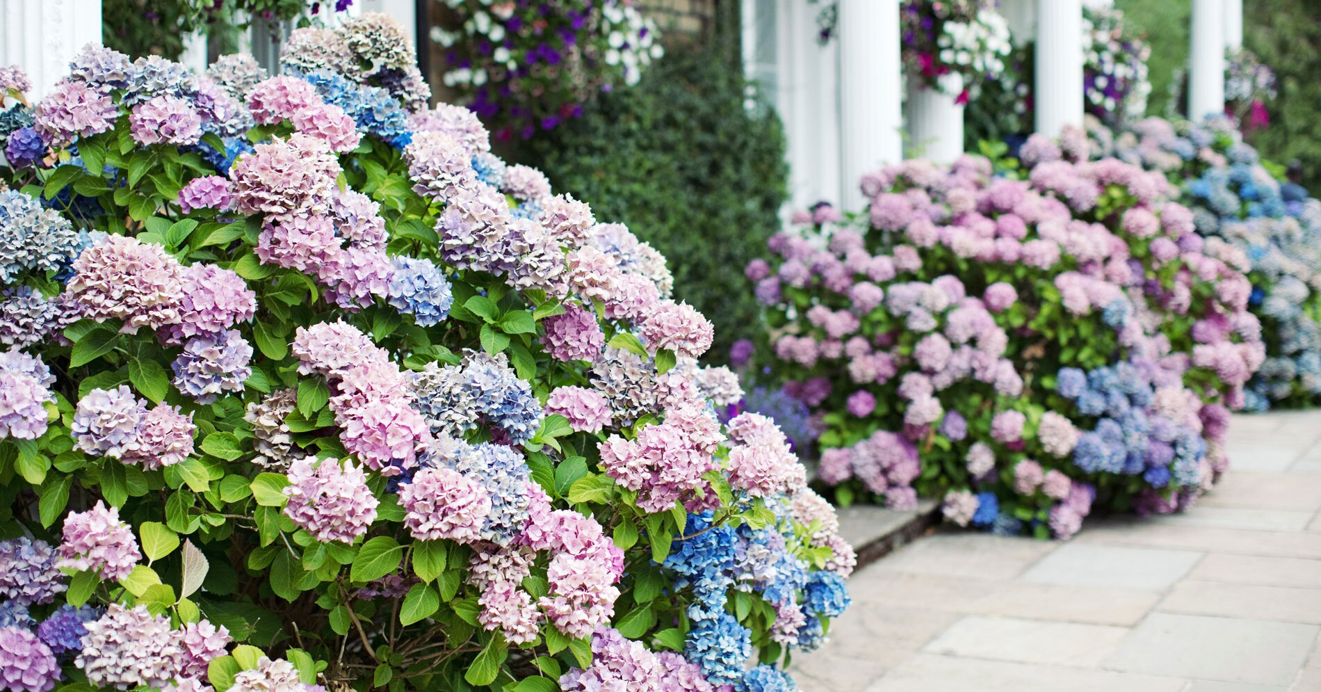 How to Boost the Color of Your Hydrangeas