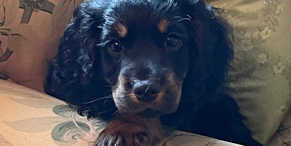 Charles Spencer Has a Mischievous New Puppy — See the Videos of the Cocker Spaniel in Action!